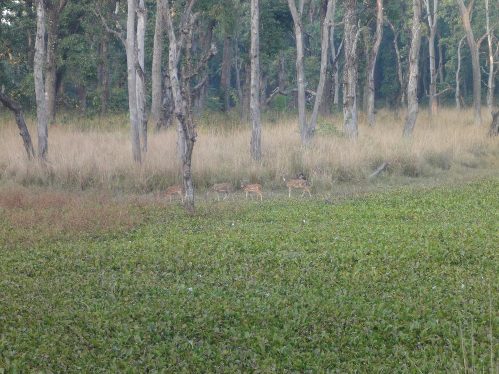 Chitwan National Park deer.JPG