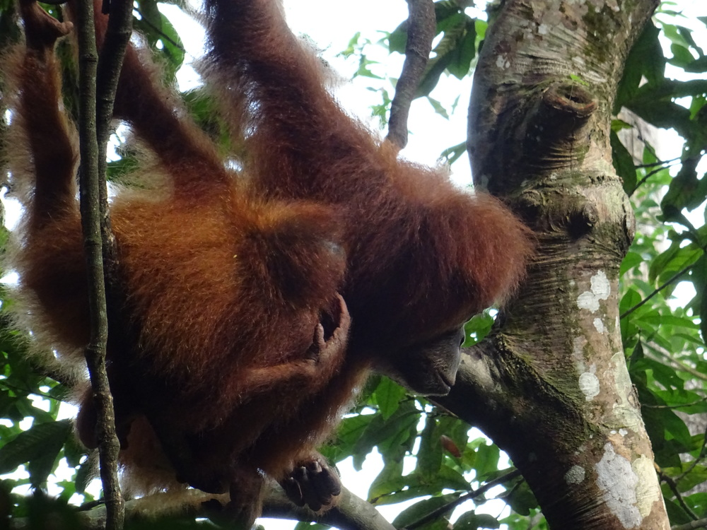 Places We Go Sumatran Orangutans real people real travel
