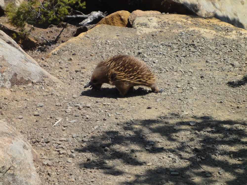 Three Capes travel Tasmania travel echidna
