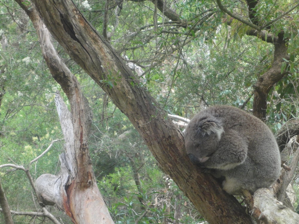 Phillip Island Melbourne Victoria Australia koalas penguins seals nature travel vegan