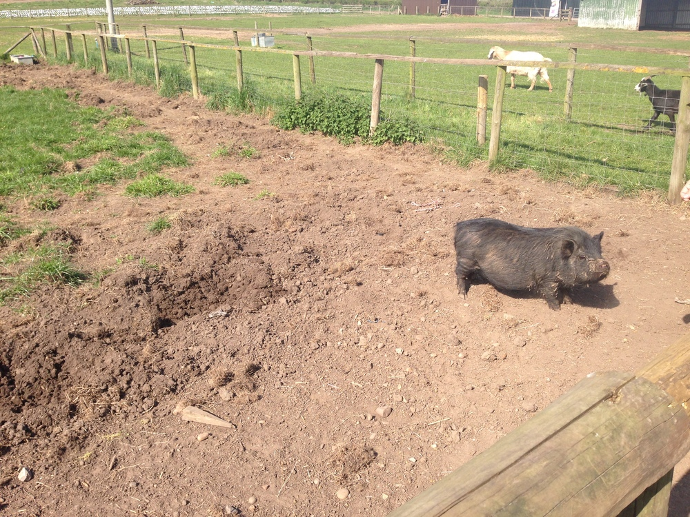 Pot Bellied Pig at Over Farm
