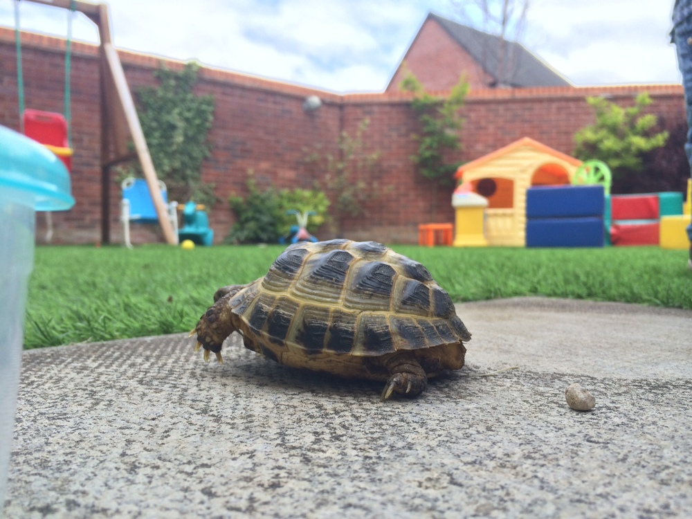 Our visiting tortoise