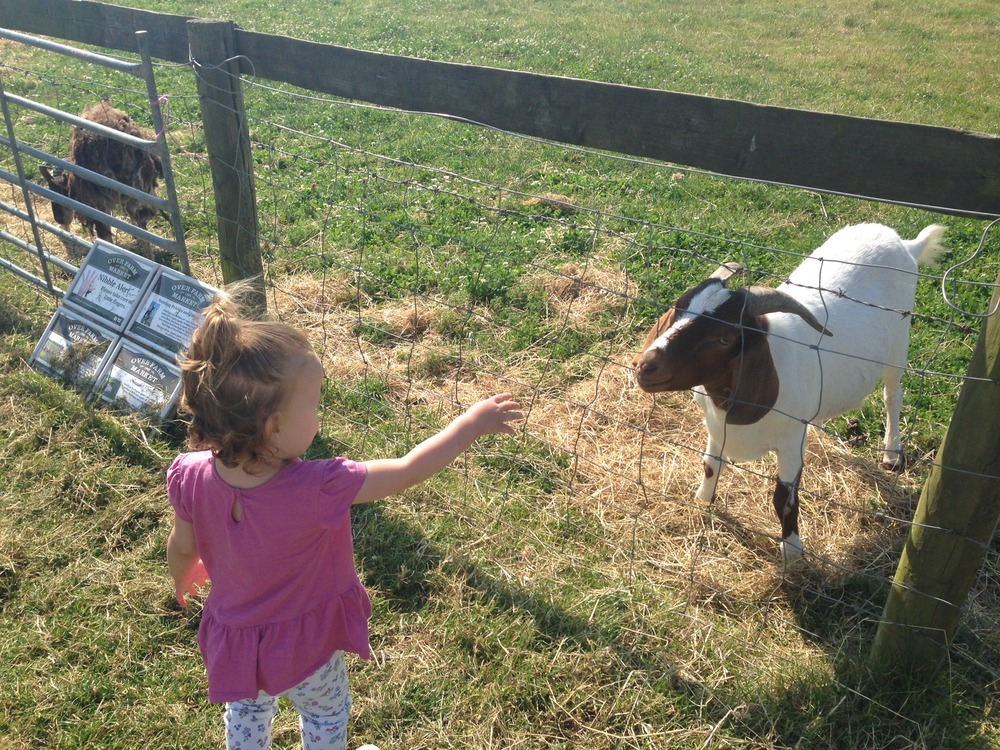 Meeting the goats