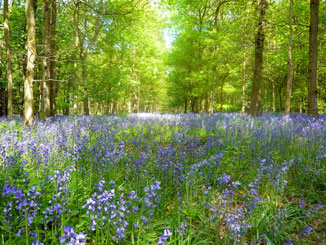 Bluebells low res.jpg