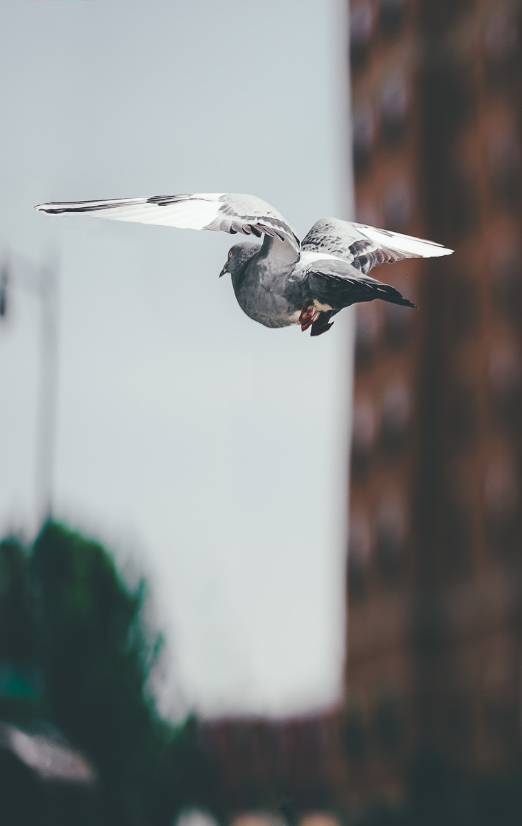 Pigeon Flying in Long Island City