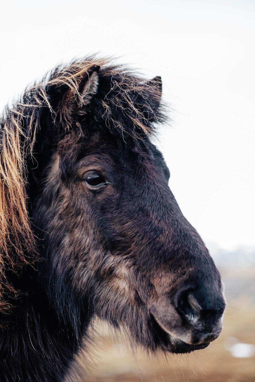 Iceland Trip Day 1 Horse Portrait