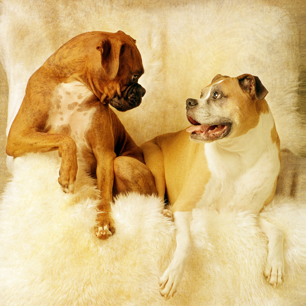 boxers pet portrait.jpg