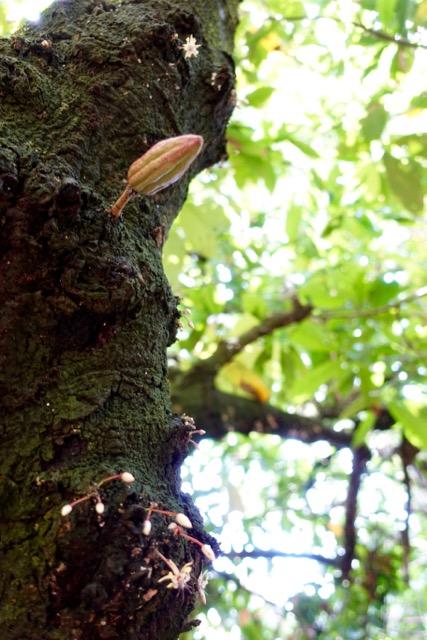Succulent Chocolates_Cacao Plantation - 7.jpg