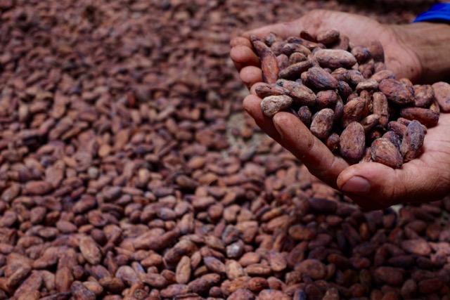 Succulent Chocolates_Cacao Plantation - 58.jpg