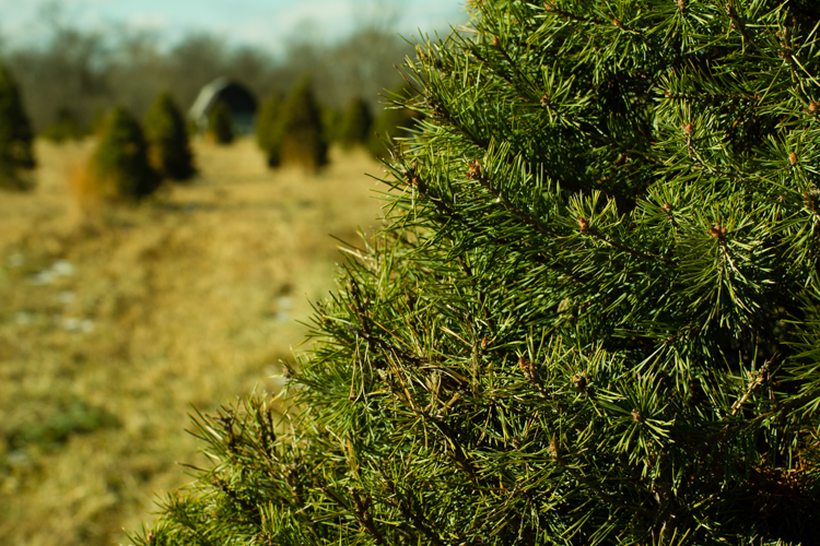Christmastreefarm3