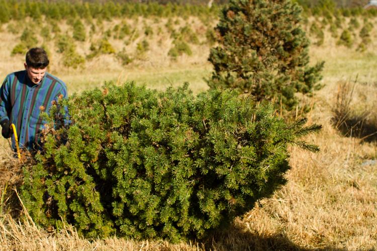 Christmastreefarm12
