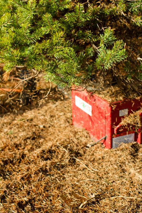 Christmastreefarm15