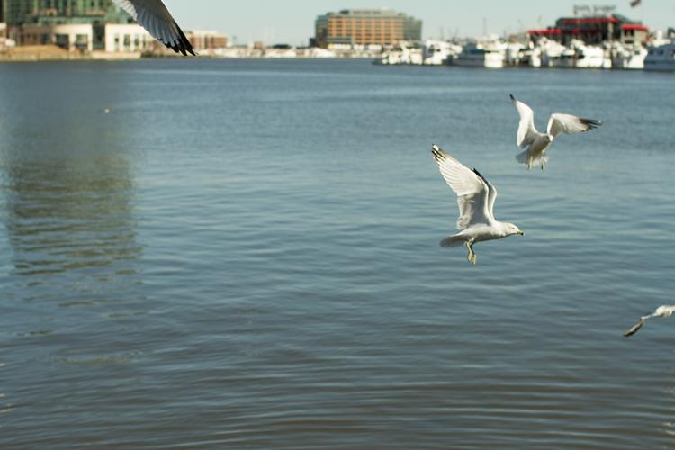 Seagulls-Inner-Harbor