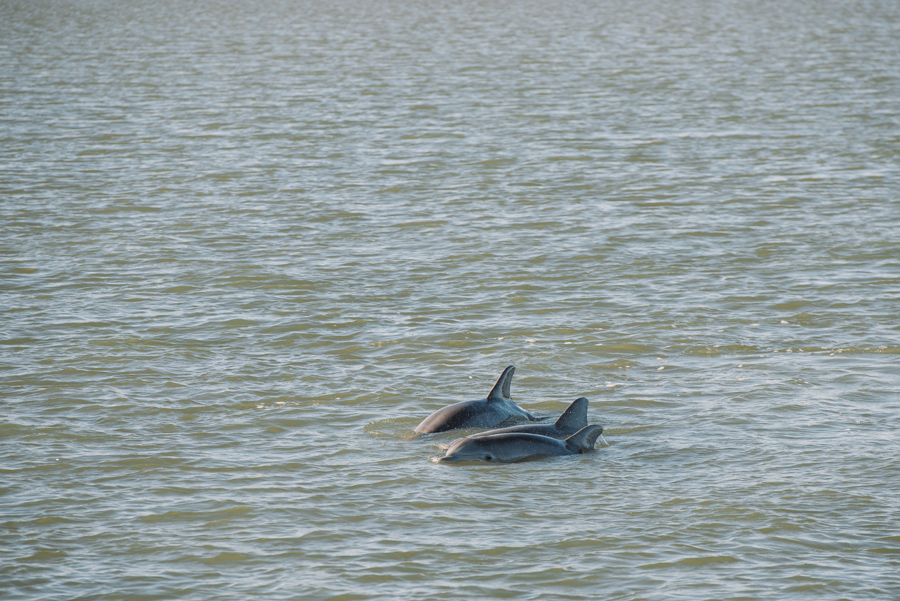 dolphin sighting hilton head