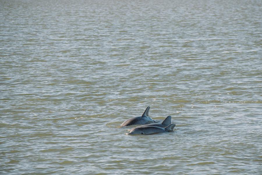 dolphin sighting hilton head