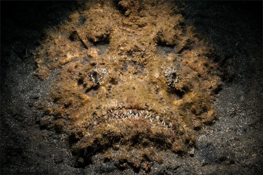 | stonefish  | indonesia | bunaken | bunaken marine park