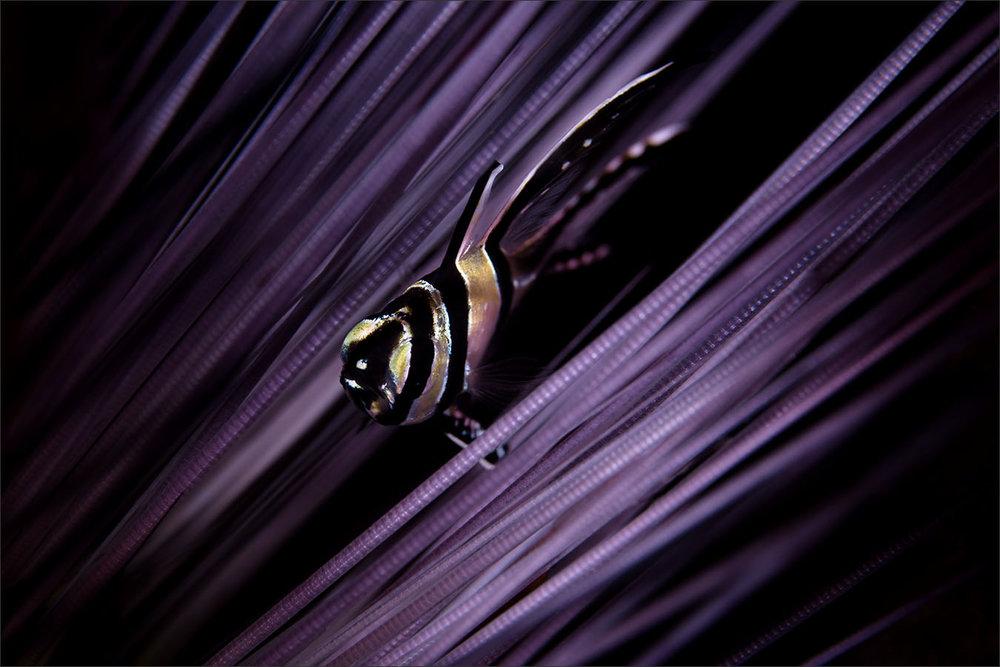 | banggai cardinalfish  | indonesia | lembeh | lembeh strait