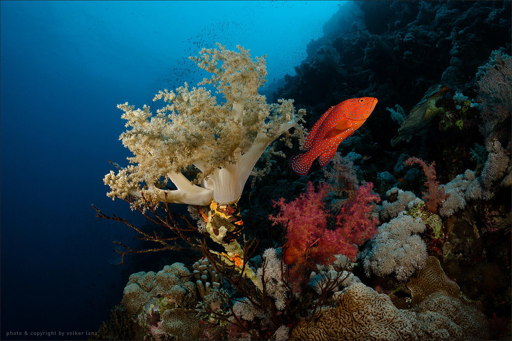 | egypt | red sea | little brother island | spot [•] northwest site