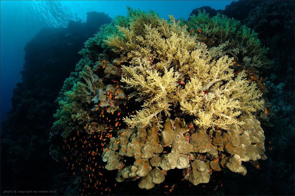 | egypt | red sea | daedalus reef | spot [•] anemone city