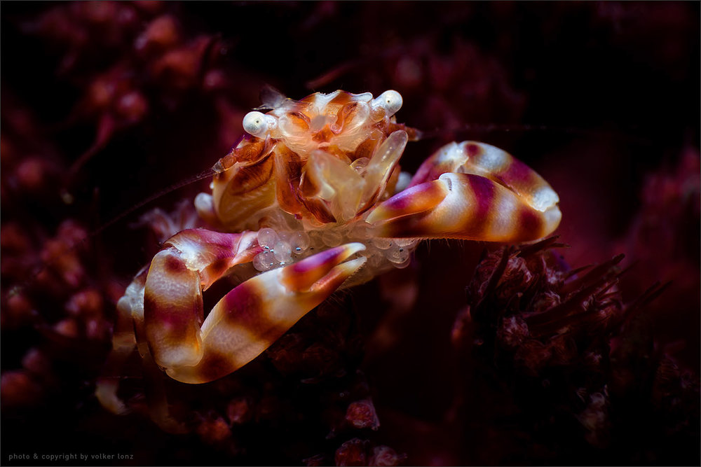| porcelain crab with eggs  | indonesia | lembeh | lembeh strait