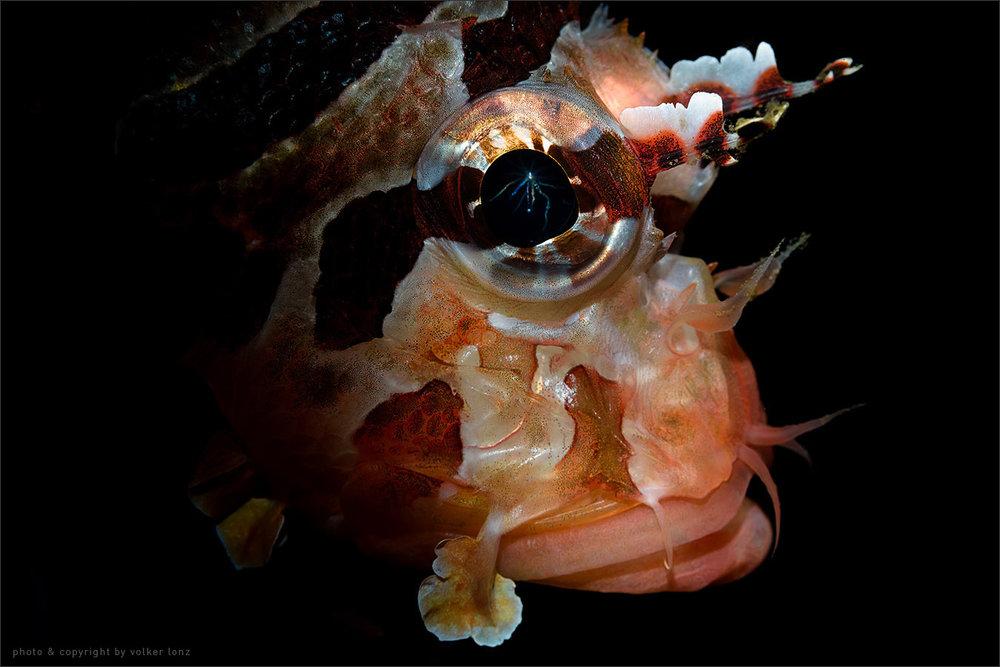 | lion fish  | indonesia | lembeh | lembeh strait