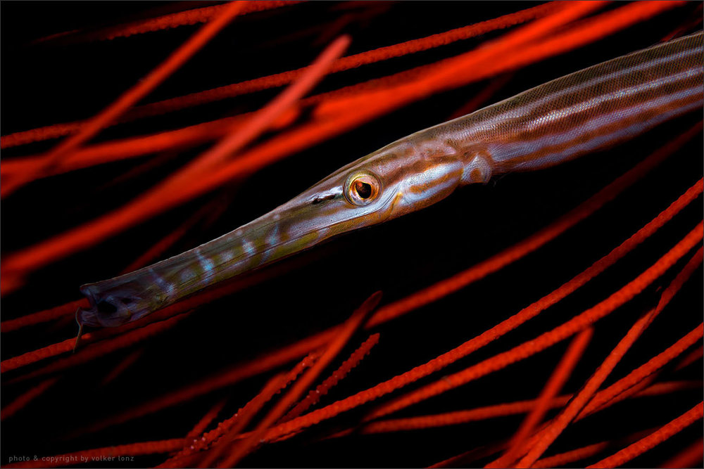 | trumpetfish  | indonesia | bangka | bangka