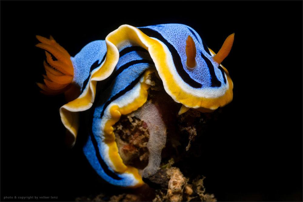 | nudibranch laying eggs  | indonesia | lembeh | lembeh strait