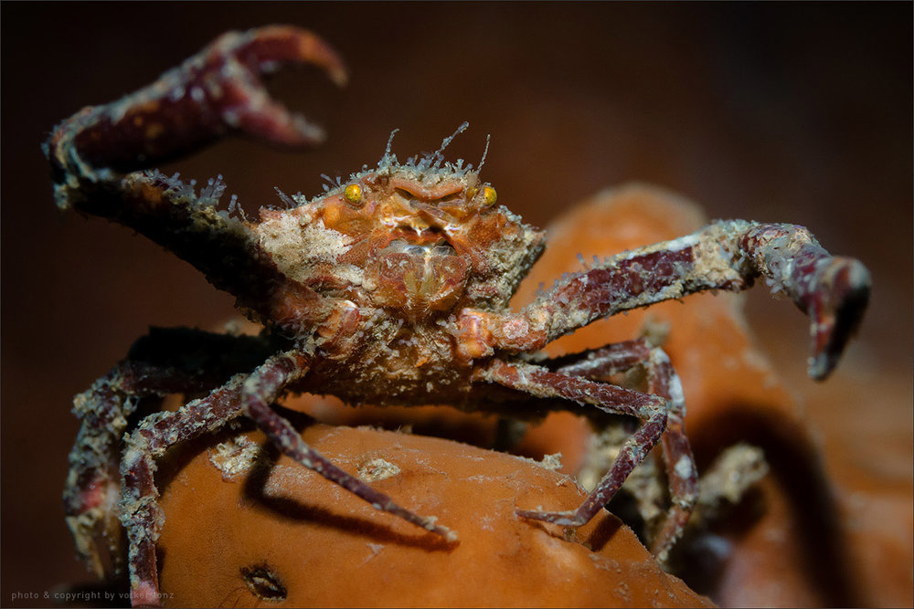 | crab  | indonesia | sulawesi | bunaken | june 2015