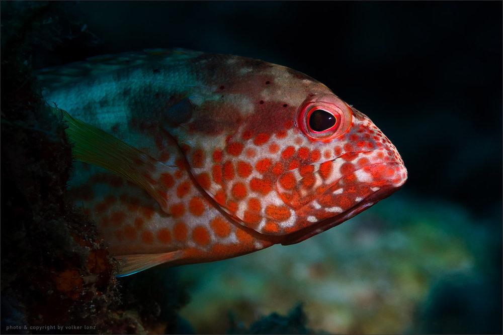   grouper – juvenile    indonesia   sulawesi   bunaken marine park