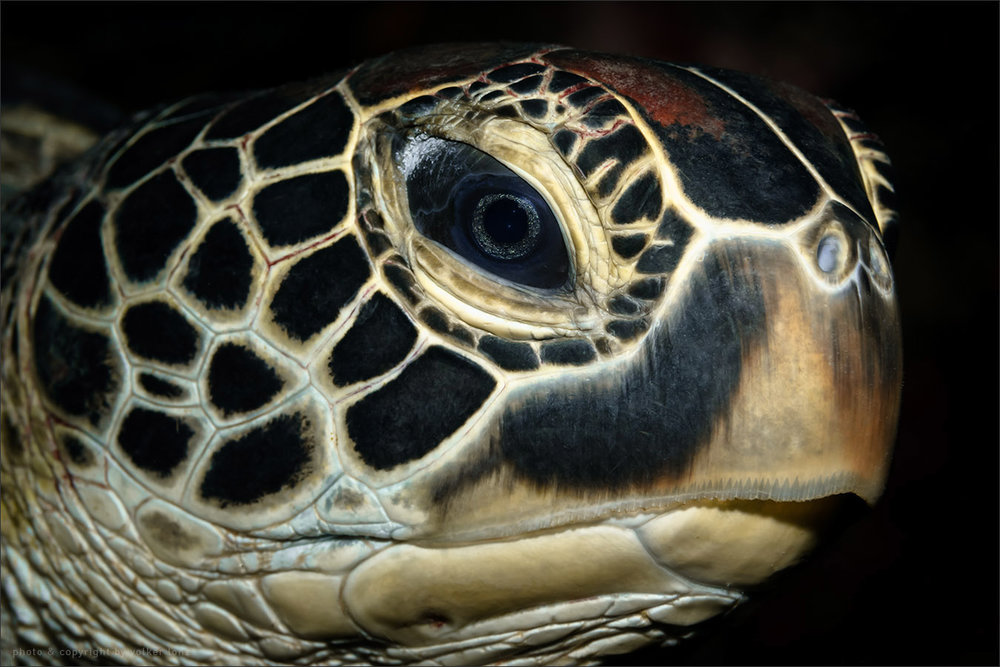 | turtle  | indonesia | sulawesi | bunaken | november 2014