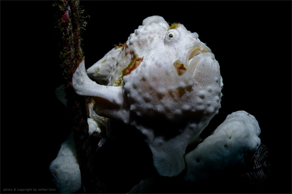 | frogfish  | indonesia | lembeh | lembeh strait