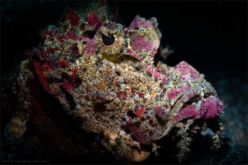 | scorpion fish  | indonesia | lembeh | lembeh strait