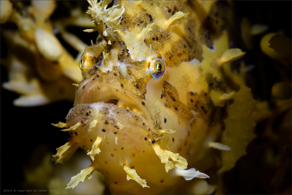 | sargassum fish | frogfish  | indonesia | bangka | bangka – northwest