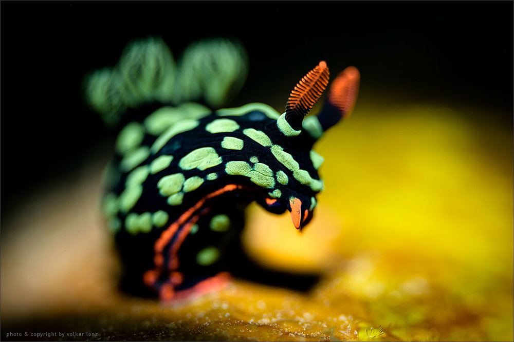 | nembrotha kubaryana | nudibranch  | indonesia | bangka | bangka – northwest