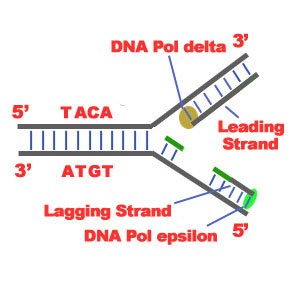 Dna replication science blitz dna replication lagging and leading strand ccuart Image collections