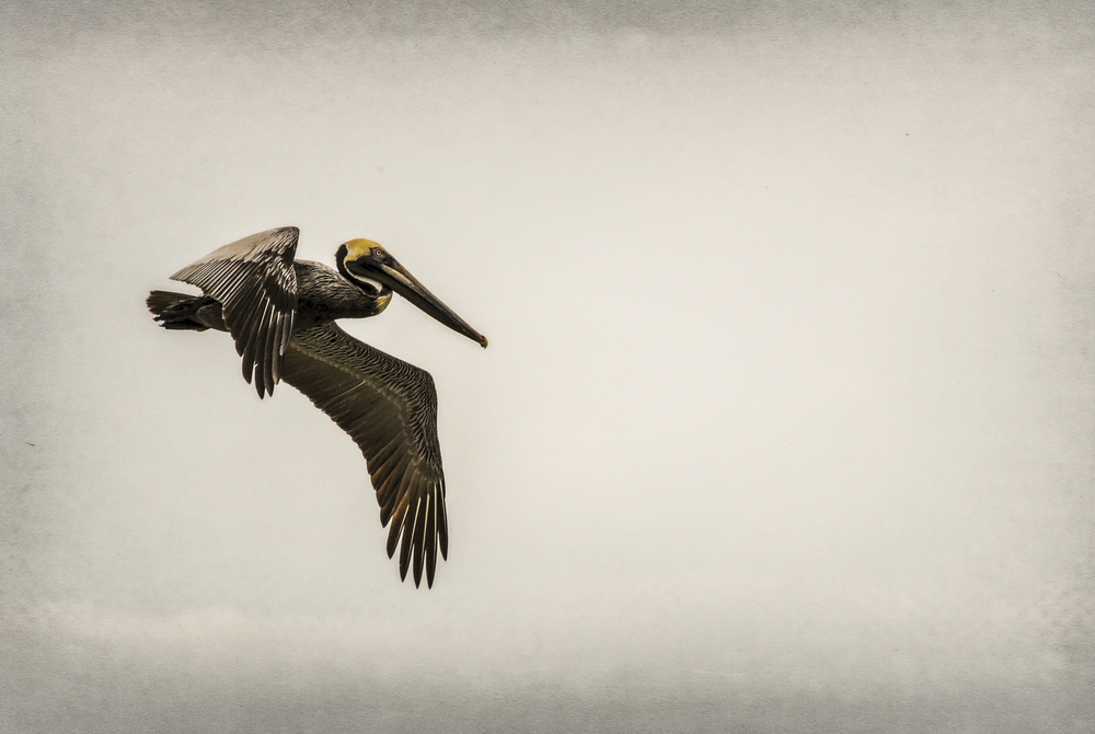 Pelican III Brown pelican, Caladesi Island, Florida