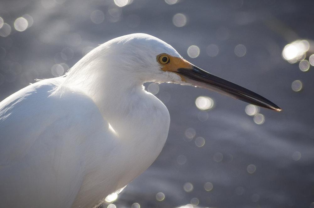 Snowy Egret   Sanibel Island, Florida