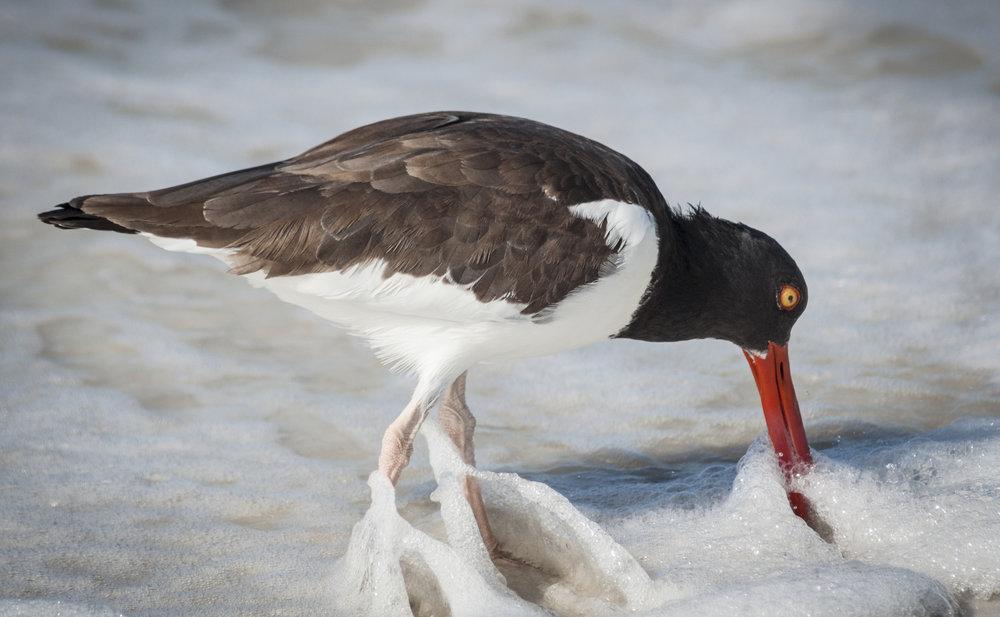American Oystercatcher   Caledesi Island, Florida