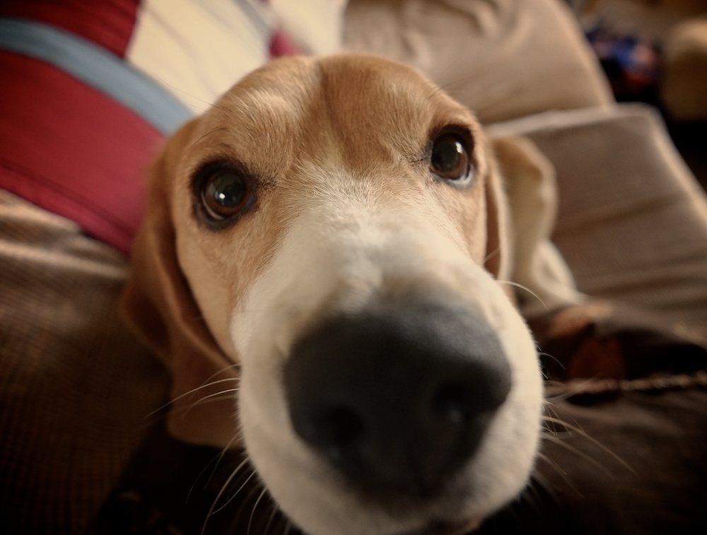 Beagle power. Fujifilm XE-1, Zeiss Touit 12mm, ISO 1600, f/2.8, 1/50.