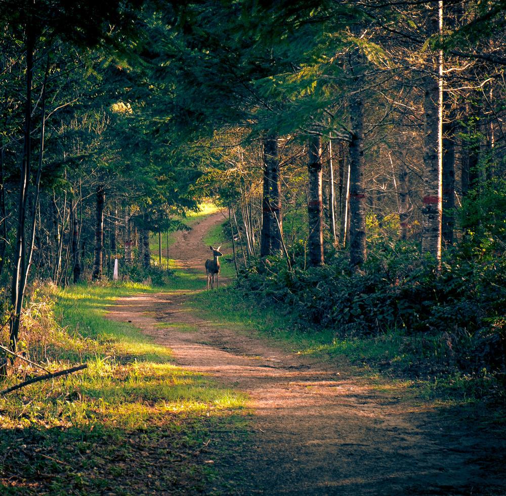 Deer Crossing. Barberchair Trail,LL Stub Stewart State Park, Oregon. Fujifilm XE-1, XF18-55mm @ 55mm, ISO 400, f/5.6, 1/125.