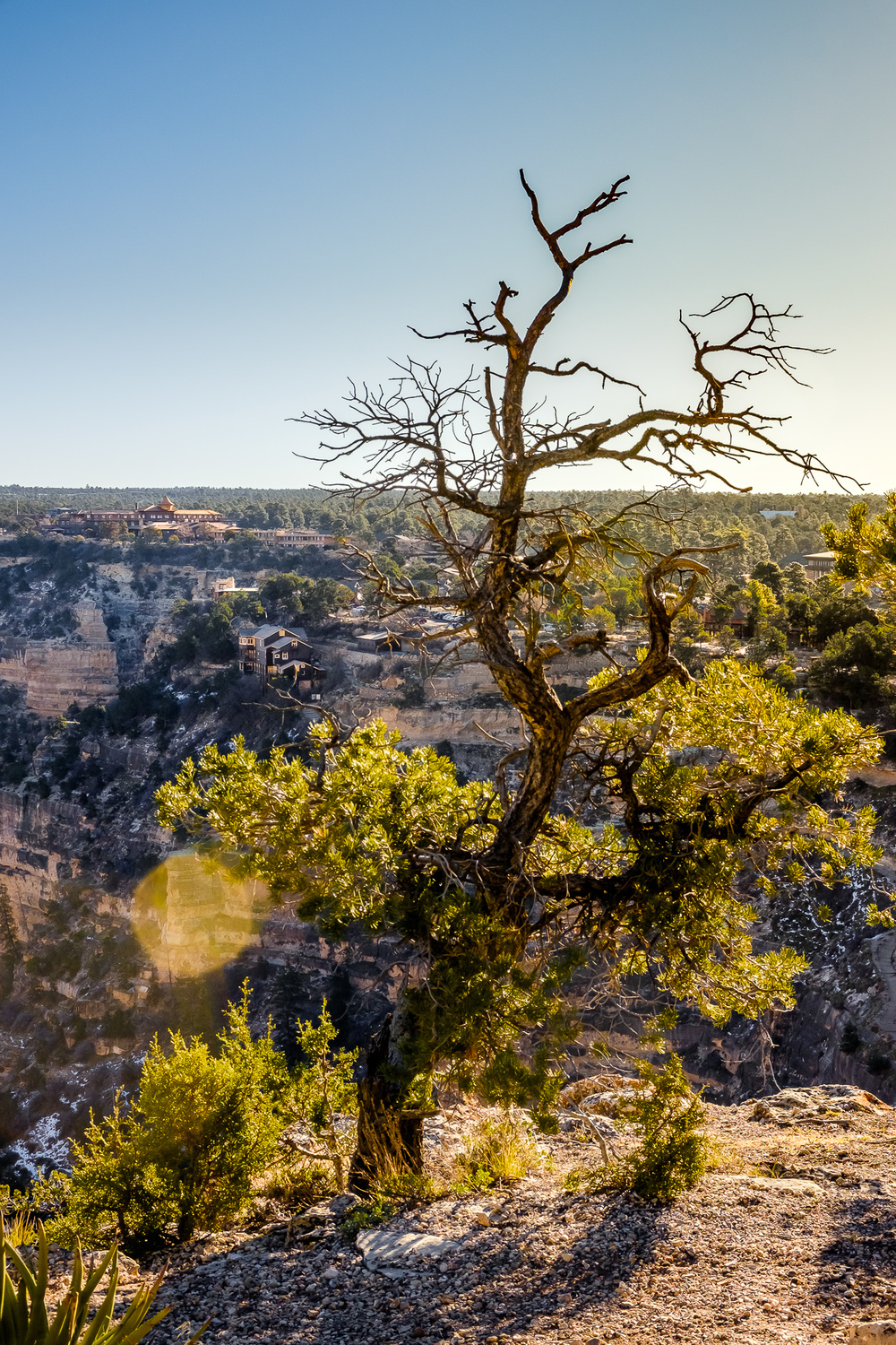 High Desert Tree -   A tree stands against time along the rim of the Grand Canyon. The lodge is visible in the background, as well as Koble Brother's studio a bit further down on the canyon wall. [ Fujifilm X100t, f/11, 1/250s, ISO 400 ]