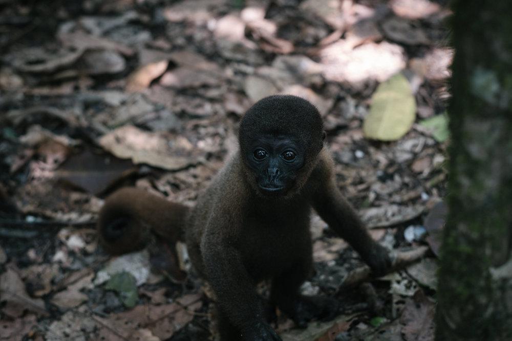 Isla de Los Monos (Pepito, Woolly)  - Iquitos, Pérou.