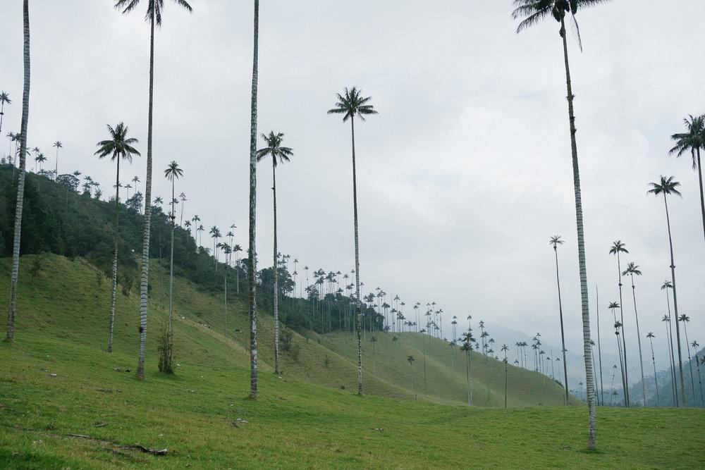 Vallée de Cocora  - Salento, Colombie.