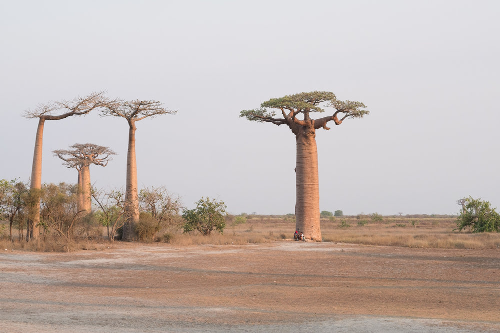 Allée des Baobabs  - Bekopaka, Madagascar.