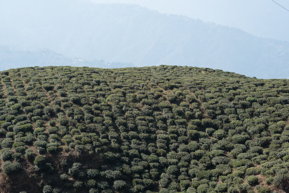 Plantation de thé (Darjeeling)  - Darjeeling, India.