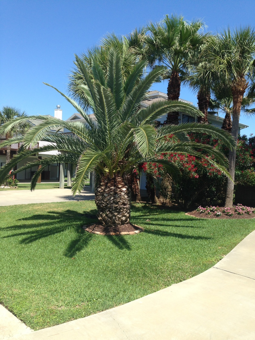 palm tree (2).jpg