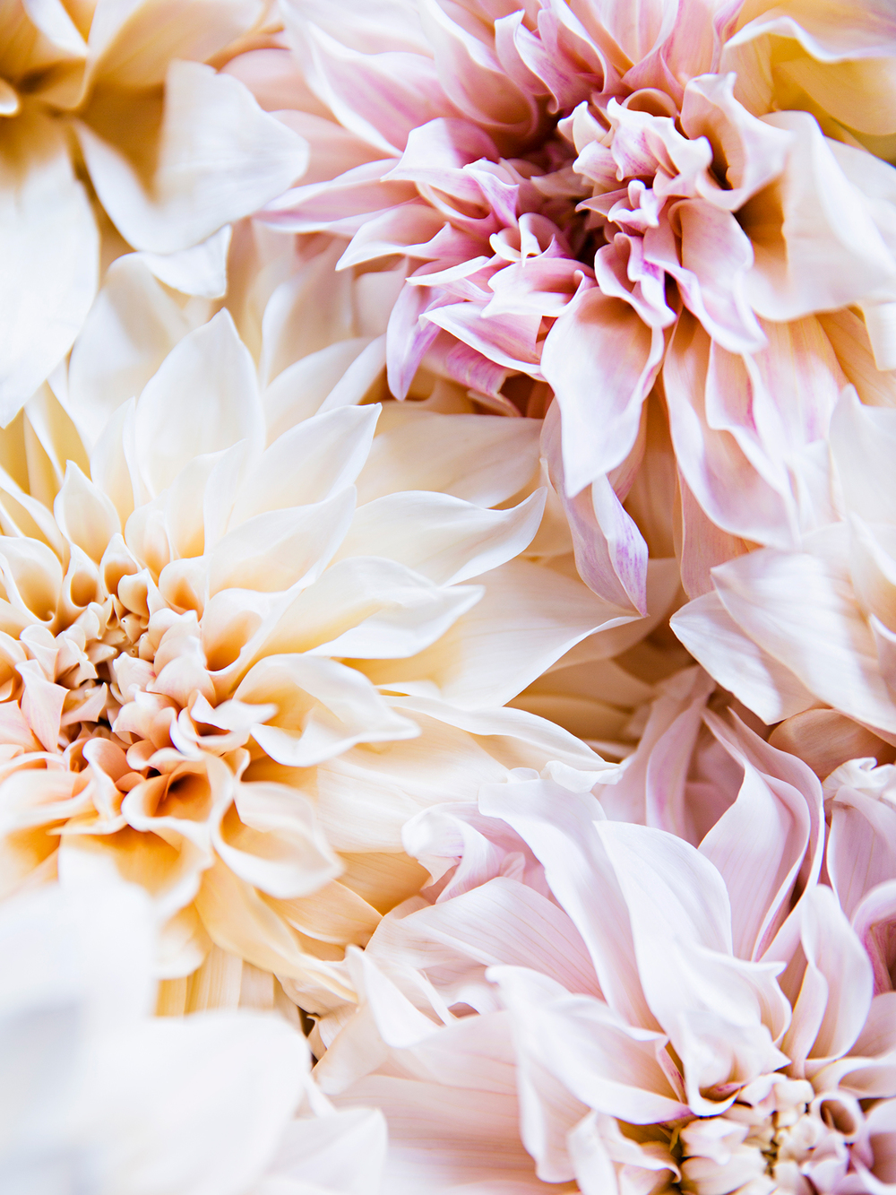 Pale Dahlias 1