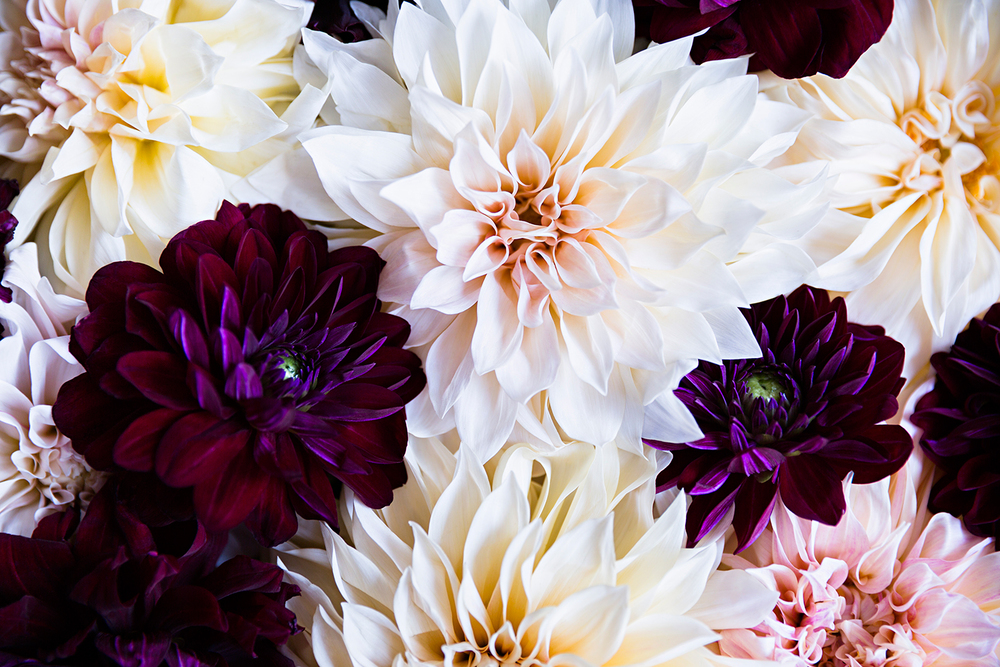 Varied Dahlias 1