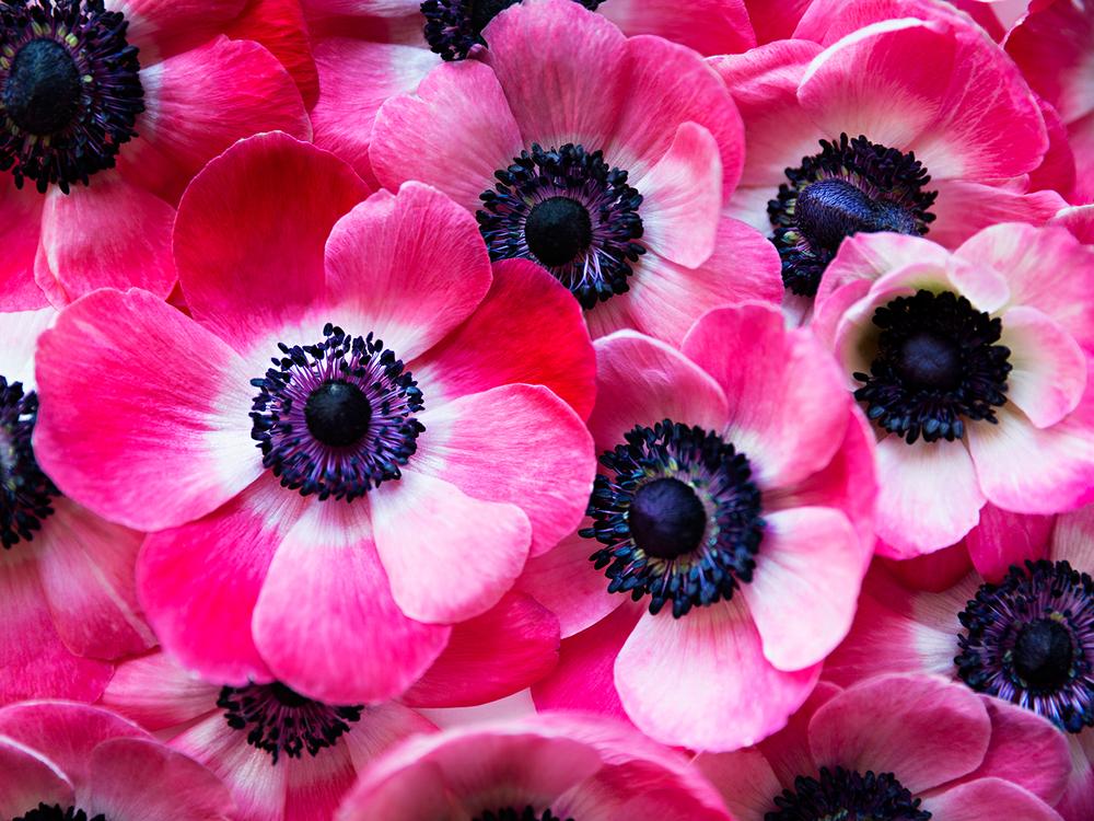 Hot Pink Anemones