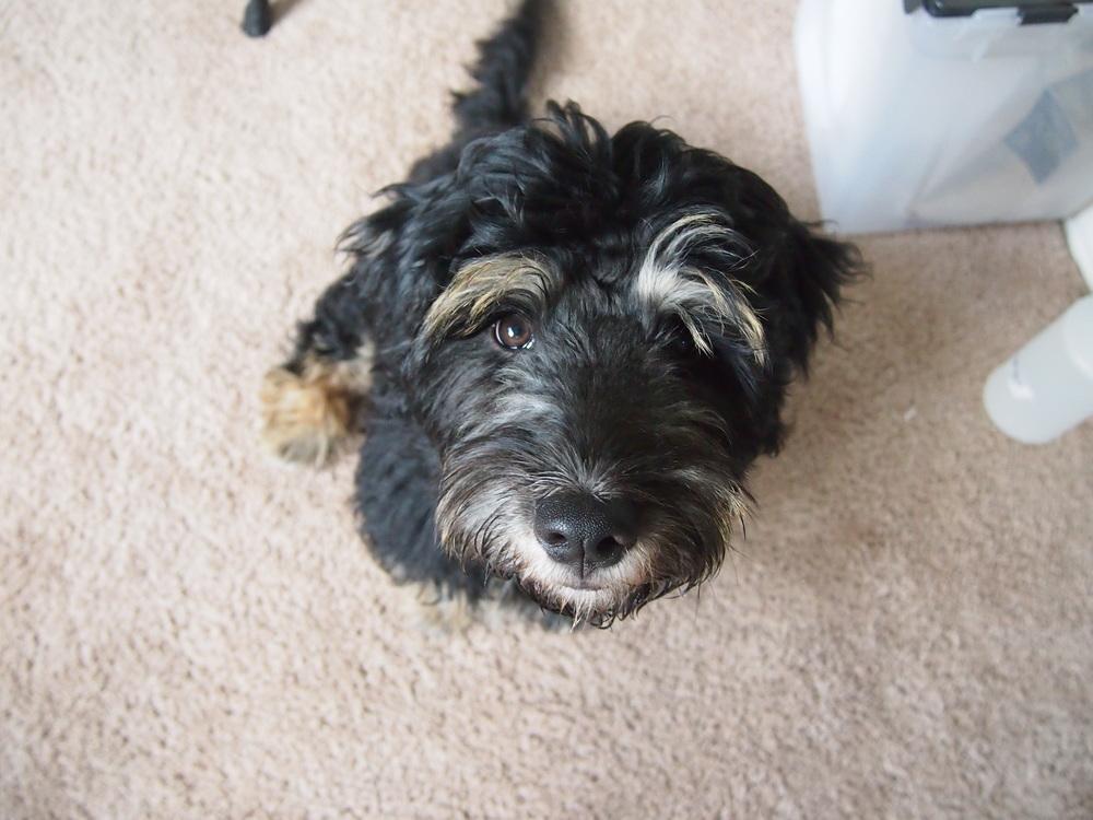 rescue puppy bogart